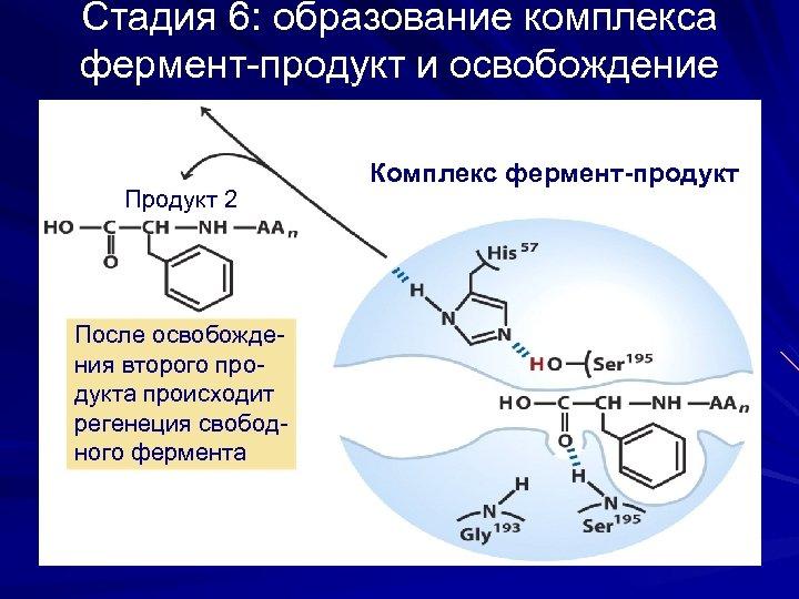 Стадия 6: образование комплекса фермент-продукт и освобождение продукта Продукт 2 После освобождения второго продукта