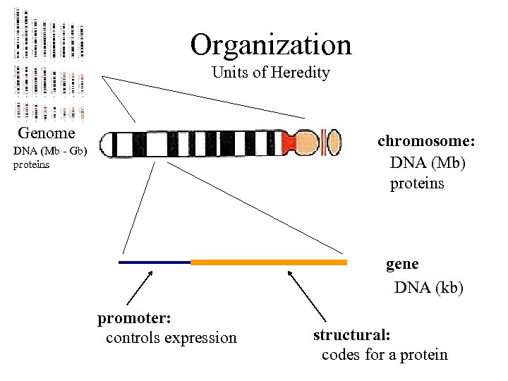 Organization Units of Heredity Genome chromosome: DNA (Mb) proteins DNA (Mb - Gb) proteins