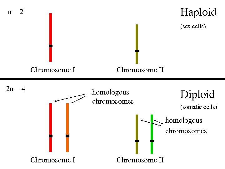 Haploid n=2 (sex cells) Chromosome I 2 n = 4 Chromosome II homologous chromosomes