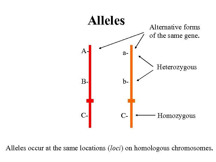 Alleles A- Alternative forms of the same gene. a. Heterozygous B- b- C- C-