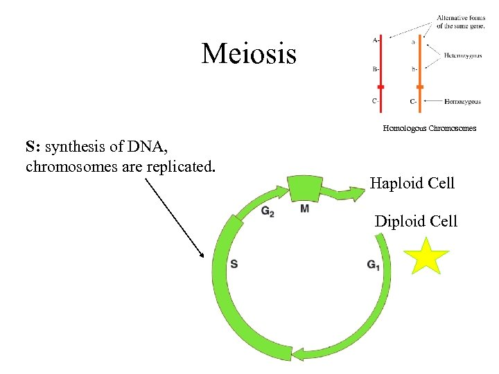Meiosis Homologous Chromosomes S: synthesis of DNA, chromosomes are replicated. Haploid Cell Diploid Cell