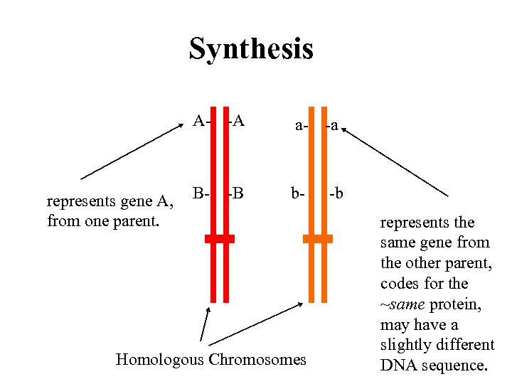 Synthesis A- -A represents gene A, from one parent. a- -a B- b- -B