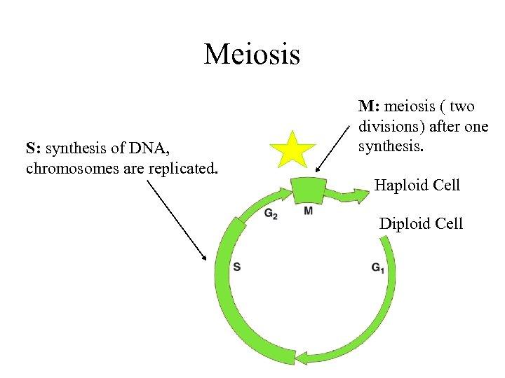 Meiosis S: synthesis of DNA, chromosomes are replicated. M: meiosis ( two divisions) after