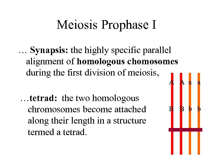 Meiosis Prophase I … Synapsis: the highly specific parallel alignment of homologous chomosomes during