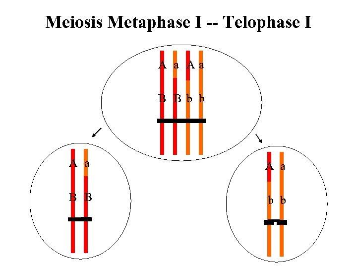 Meiosis Metaphase I -- Telophase I A a Aa B B b b A