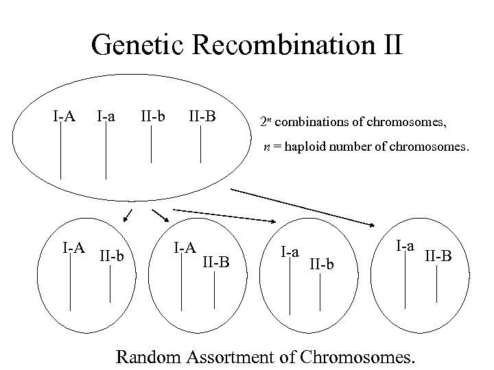 Genetic Recombination II I-A I-a II-b II-B 2 n combinations of chromosomes, n =