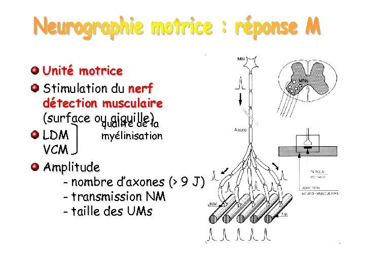 Unité motrice Stimulation du nerf détection musculaire (surface ou aiguille) qualité de la LDM