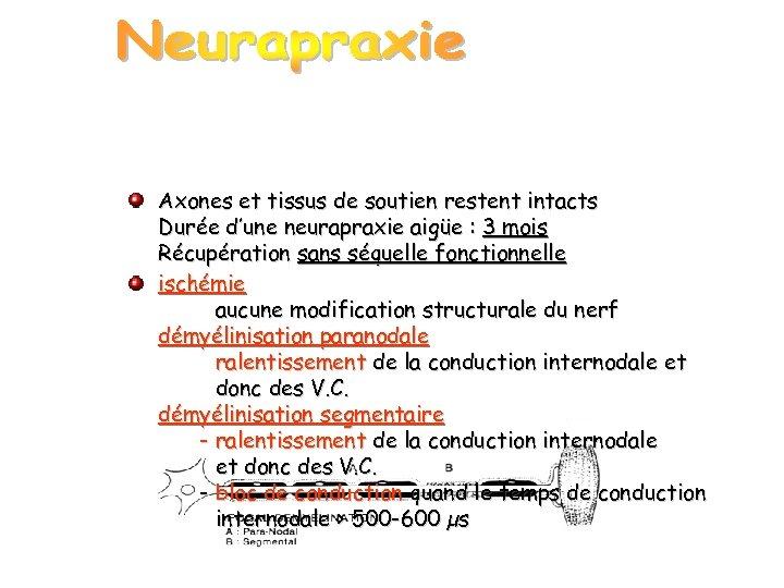 Axones et tissus de soutien restent intacts Durée d'une neurapraxie aigüe : 3 mois