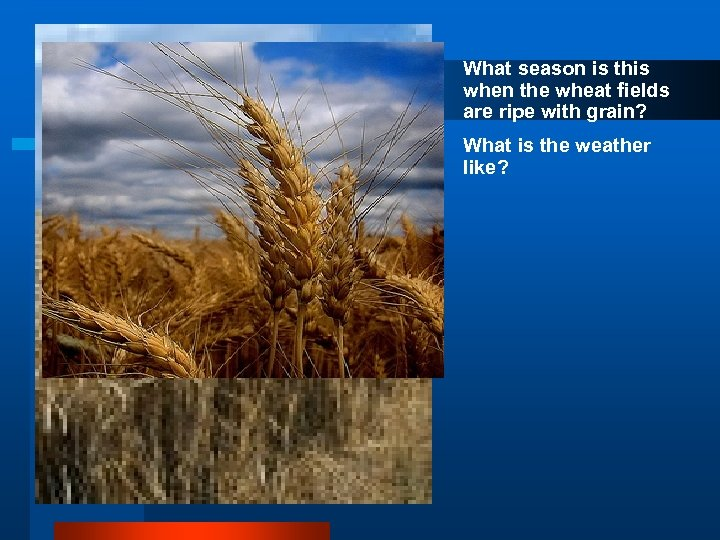 What season is this when the wheat fields are ripe with grain? What is