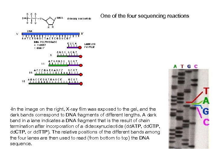 One of the four sequencing reactions -In the image on the right, X-ray film