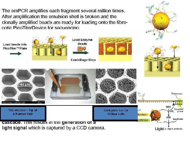 The em. PCR amplifies each fragment several million times. After amplification the emulsion shell