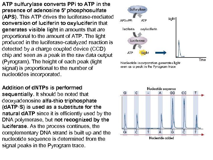 ATP sulfurylase converts PPi to ATP in the presence of adenosine 5' phosulfate (APS).