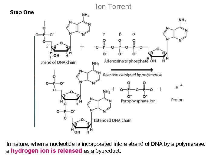Step One Ion Torrent In nature, when a nucleotide is incorporated into a strand