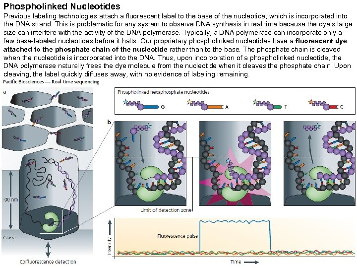Phospholinked Nucleotides Previous labeling technologies attach a fluorescent label to the base of the