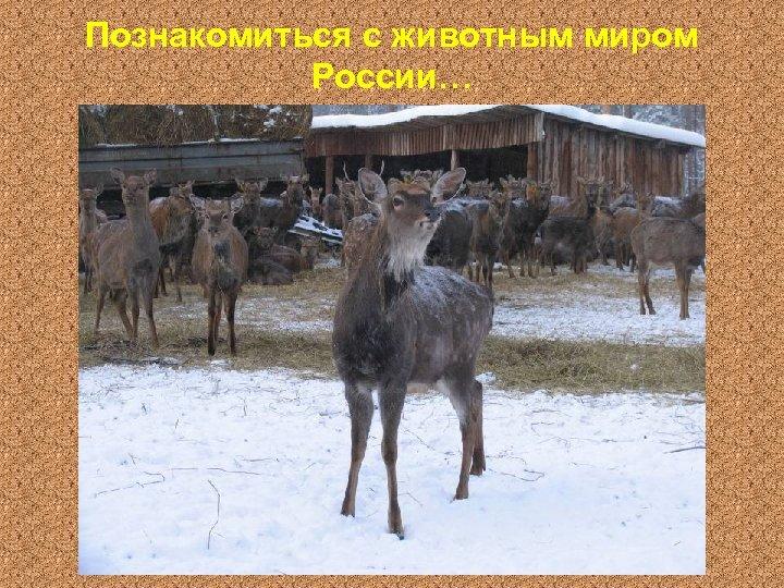 Познакомиться с животным миром России…