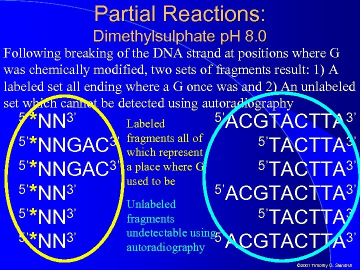 Partial Reactions: Dimethylsulphate p. H 8. 0 Following breaking of the DNA strand at