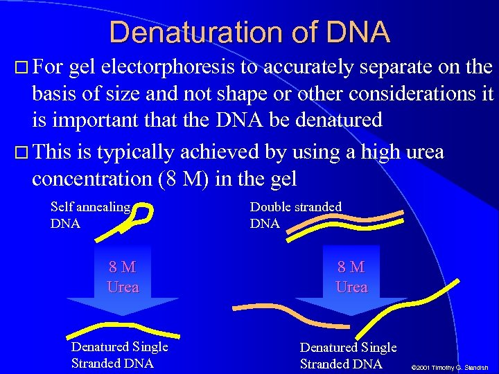Denaturation of DNA For gel electorphoresis to accurately separate on the basis of size