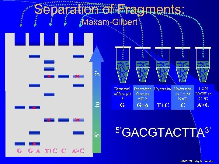 Separation of Fragments: 3' X X Maxam-Gilbert G G+A T+C C A>C 5'GACGTACTTA 3'