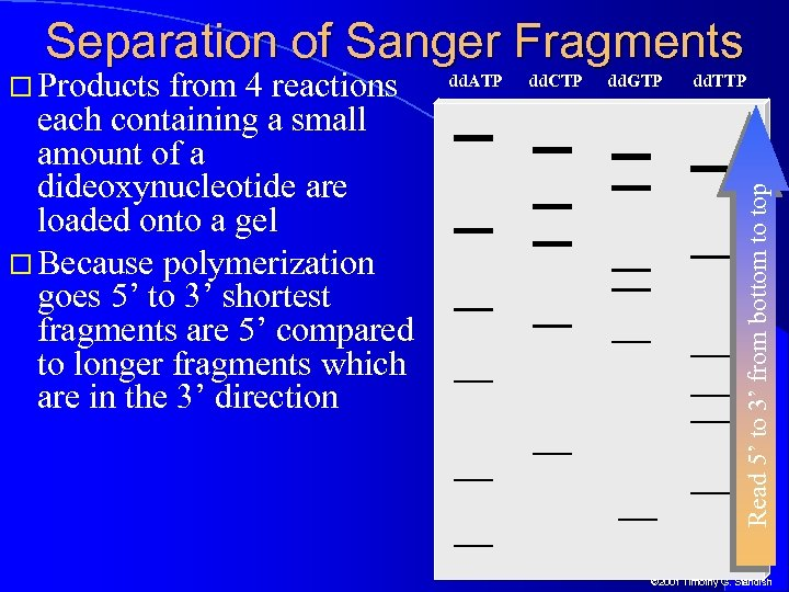 Separation of Sanger Fragments from 4 reactions each containing a small amount of a