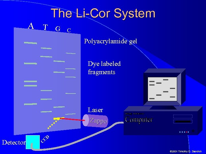 A T The Li-Cor System G C Polyacrylamide gel Dye labeled fragments Laser Zappo