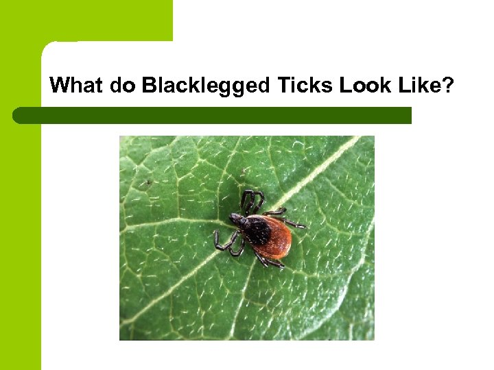 What do Blacklegged Ticks Look Like?