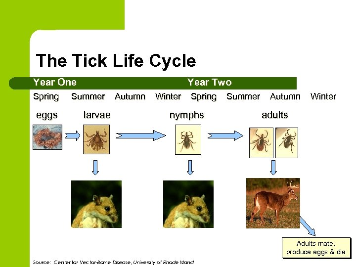 The Tick Life Cycle Year One Year Two Spring Summer Autumn Winter Spring Summer