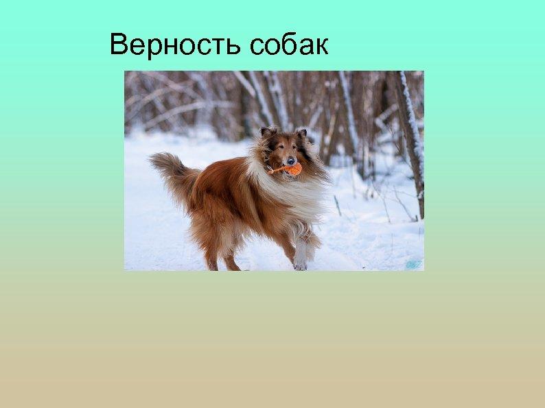 Верность собак