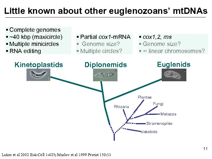 Little known about other euglenozoans' mt. DNAs § Complete genomes § ~40 kbp (maxicircle)
