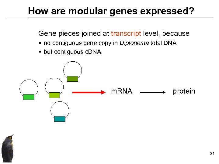 How are modular genes expressed? Gene pieces joined at transcript level, because § no