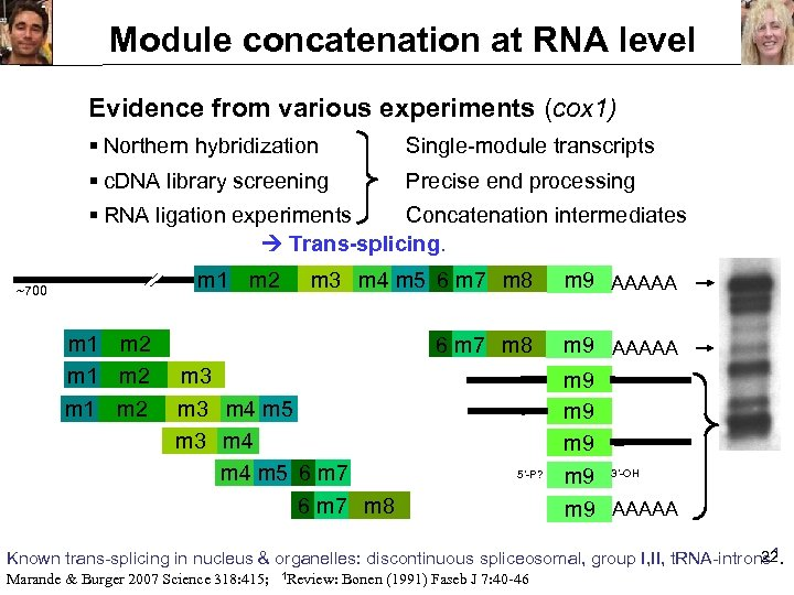 Module concatenation at RNA level Evidence from various experiments (cox 1) § Northern hybridization