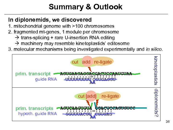 Summary & Outlook In diplonemids, we discovered 1. mitochondrial genome with >100 chromosomes 2.