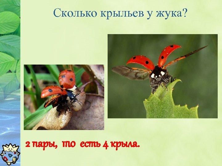 Сколько крыльев у жука? 2 пары, то есть 4 крыла.