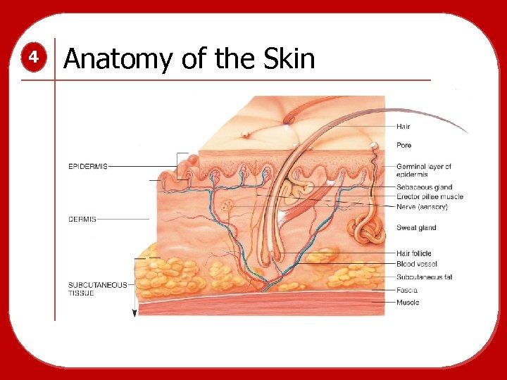 4 Anatomy of the Skin