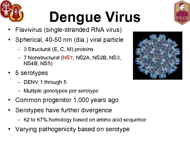Dengue Virus • Flavivirus (single-stranded RNA virus) • Spherical, 40 -50 nm (dia. )