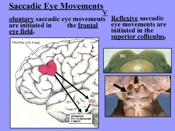 Saccadic Eye Movements V oluntary saccadic eye movements Reflexive saccadic eye movements are initiated