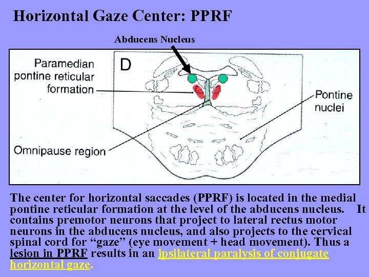 Horizontal Gaze Center: PPRF Abducens Nucleus The center for horizontal saccades (PPRF) is located