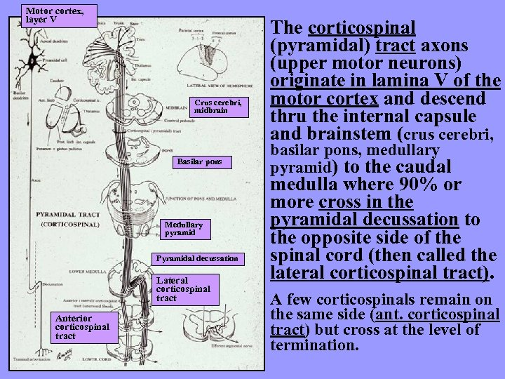 Motor cortex, layer V Crus cerebri, midbrain Basilar pons Medullary pyramid Pyramidal decussation Lateral
