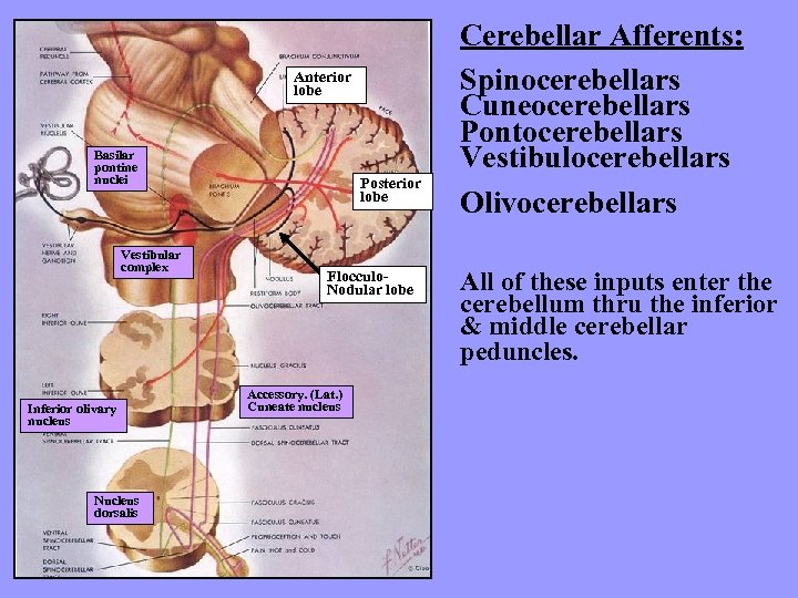 Anterior lobe Basilar pontine nuclei Vestibular complex Inferior olivary nucleus Nucleus dorsalis Posterior lobe
