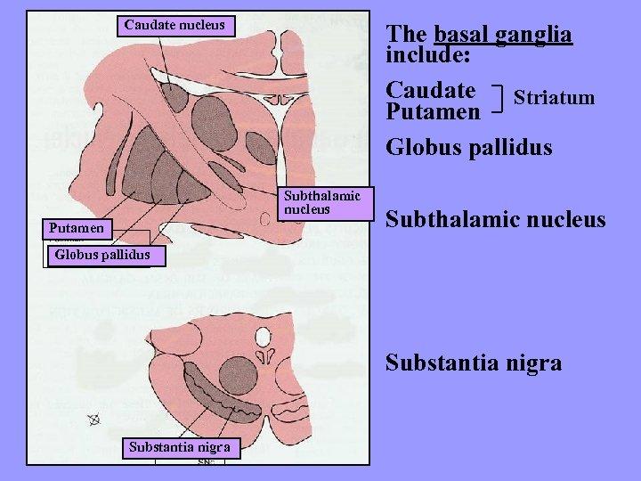 Caudate nucleus The basal ganglia include: Caudate Striatum Putamen Globus pallidus Subthalamic nucleus Putamen