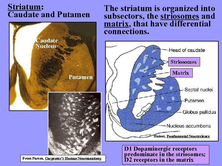 Striatum: Caudate and Putamen The striatum is organized into subsectors, the striosomes and matrix,