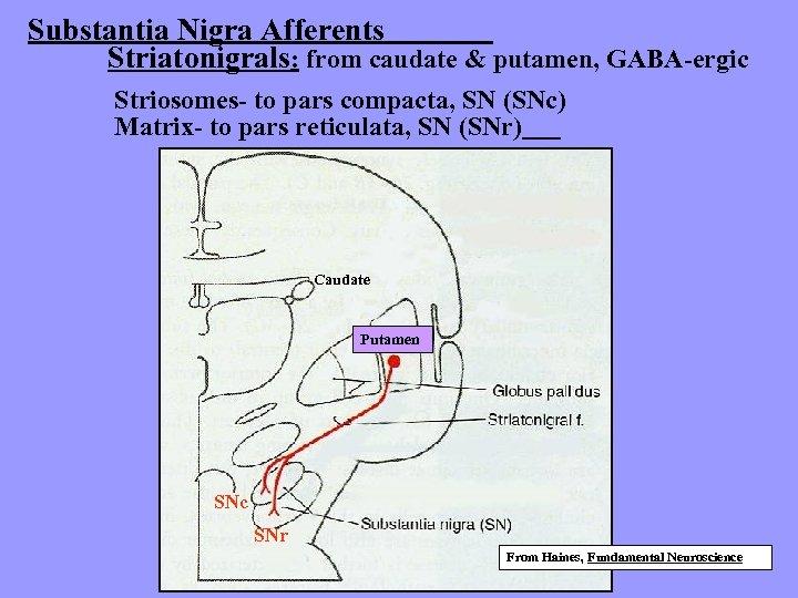Substantia Nigra Afferents Striatonigrals: from caudate & putamen, GABA-ergic Striosomes- to pars compacta, SN