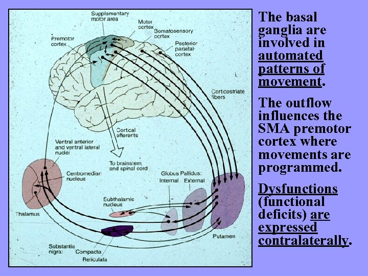 The basal ganglia are involved in automated patterns of movement. The outflow influences the