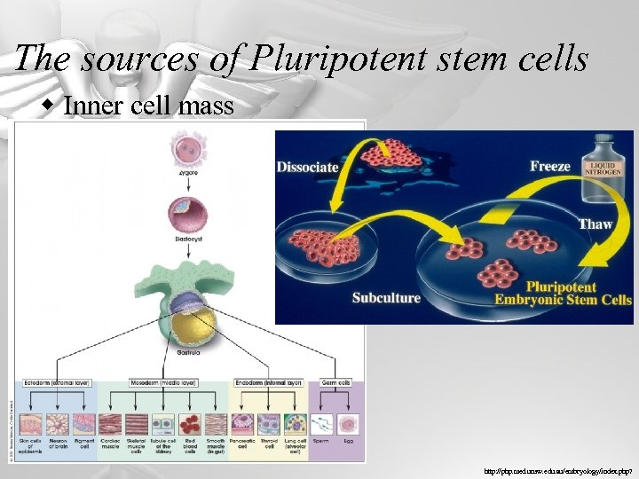The sources of Pluripotent stem cells w Inner cell mass http: //php. med. unsw.