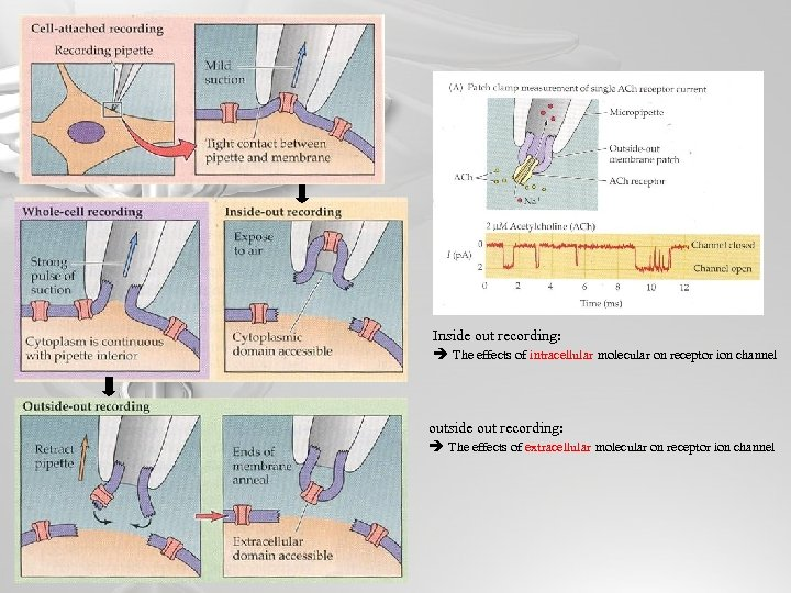Inside out recording: The effects of intracellular molecular on receptor ion channel outside out