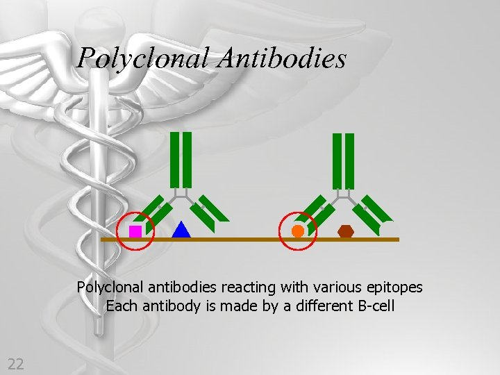 Polyclonal Antibodies Polyclonal antibodies reacting with various epitopes Each antibody is made by a