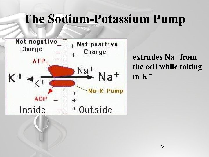 The Sodium-Potassium Pump extrudes Na+ from the cell while taking in K + 26