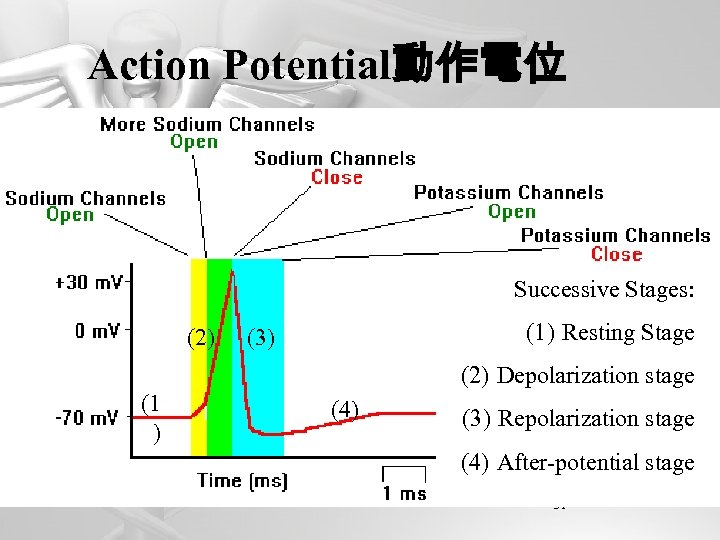 Action Potential動作電位 Successive Stages: (2) (1) Resting Stage (3) (2) Depolarization stage (1 )