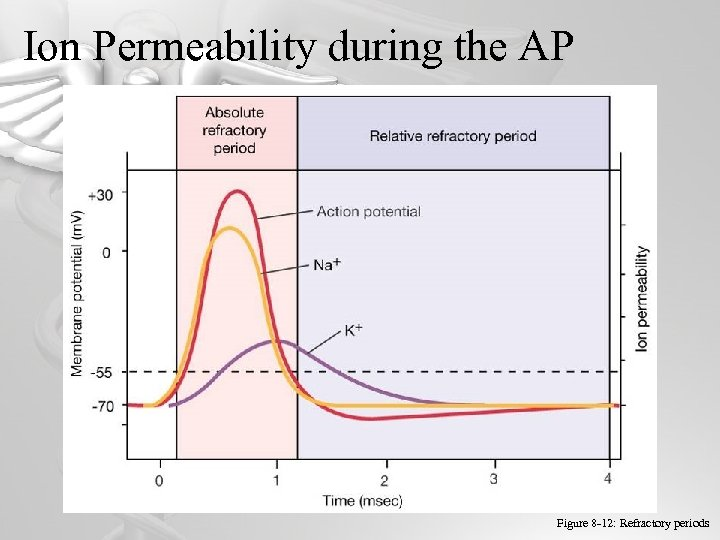 Ion Permeability during the AP 32 Figure 8 -12: Refractory periods