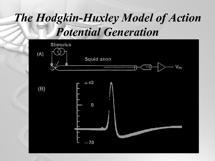 The Hodgkin-Huxley Model of Action Potential Generation 35