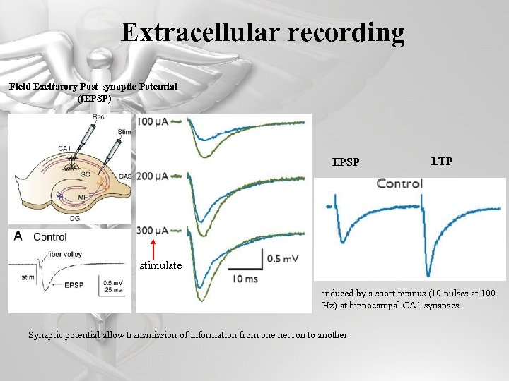 Extracellular recording Field Excitatory Post-synaptic Potential (f. EPSP) EPSP LTP stimulate induced by a